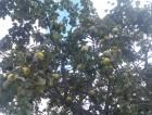 Венёвские яблоки